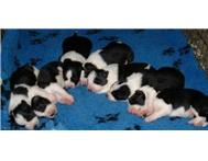 Male & Female Purebred Border Collie in Dogs & Puppies For Sale Gauteng Centurion - South Africa