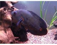 Med-Large Oscar Fish For Sale
