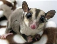 2 x unrelated pairs of sugar gliders plus 1.8 x 2m galvan cage
