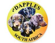 Miniature Dachshund Dapple puppies ...