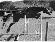 Warmblood X Mare for sale Cape Town