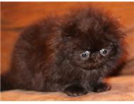 Black Solid Persian Boy