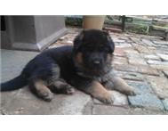 Long coat German Sepherd puppies for sale