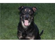 Home needed for Sparky (Rottweiler/German Shep/Smaller dog mix)