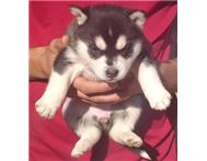 Male & Female Purebred Siberian Husky in Dogs & Puppies For Sale Free State Welkom - South Africa