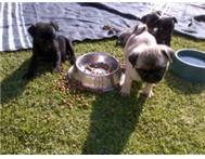 Shorty pug pups 4r sale! R3600