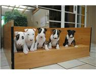 Big Bull Terrier puppies