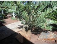 E. Longifolius cycad for sale.