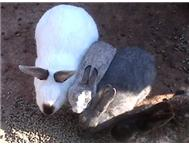 rehome ur pet rabbit 4 u! Johannesburg