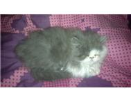Persian Kittens 9 weeks 4 sale