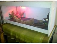 adult female bearded dragon for sal...