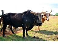 Top Registered Maketini Bull in Game For Sale Limpopo Rust de Winter - South Africa