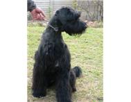 Black Giant Schnauzer Puppies