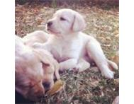 Labrador puppies - good home Pretoria