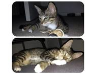 10 Week Female Tabby Free to good home