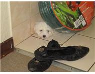 Mini Maltese puppies! Females and Males!