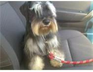 MINIATURE SCHNAUZER PUPPIES - MALES CAPE TOWN