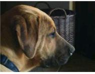 Boer Boel For Sale