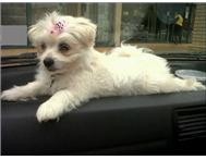 EIGHT MONTHS OLD MINIATURE MALTESE POODLE FOR SALE