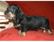 Miniature wire haired male dachshund pup - KUSA reg.