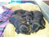 6 weeks old Duchshund puppies for sale