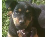 Rottweiler cross puppies for sale
