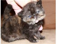 Tortoiseshell Exotic (Persian Short...