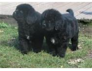 Newfoundland Puppies Available Cape Town