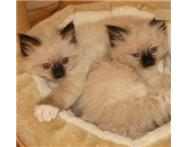 Birman kittens now ready