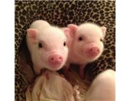 micro mini teacup piglets for sale