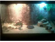 Stunning Bearded Dragon Set up - FU... Johannesburg