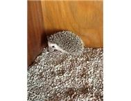 Male & Female Pygmy Hedgehogs in Cats & Kittens For Sale Gauteng Pretoria North - South Africa