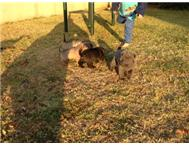 Sharpei puppies for sale South Rand
