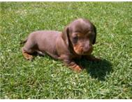 Miniature Dachshunds (Worshond) Smooth Haired For Sale