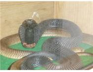 BLACK NECK SPITTING COBRA & MORE