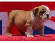 looking for a purebred english bulldog female puppy