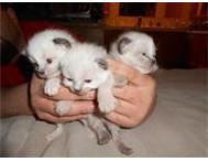 Ragdoll kittens Pure Breed Greenview
