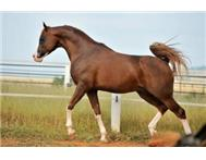 Registered Arabians Exclusively Cra... Cape Town