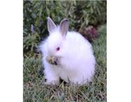 Cute Jersey Wooly Rabbit Babies & Young Adult Female