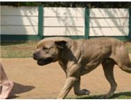 Registered Boerboel pups with imecable temperament