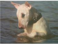ENGLISH BULL TERRIER PUPPIES FOR SA...