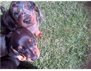 Two male Dapple dachshunds