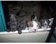 Pitbull puppies now available Johannesburg