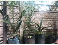 HI I HAVE MANGO COCONUT PALM TREES CURRY LEAF TREES FOR SALE
