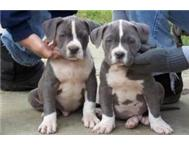 American blue pitbull puppies .