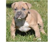 American Pit Bull Terrier Puppies Available.