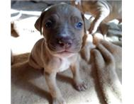 Pitbull Pups for Sale!