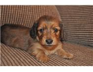 KUSA Registered Long-haired Miniature Dachshunds