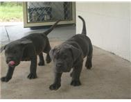 Adorable Neapolitan mastiff puppies for sale.