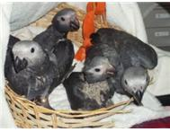 african greys handreared and brandnew large cage